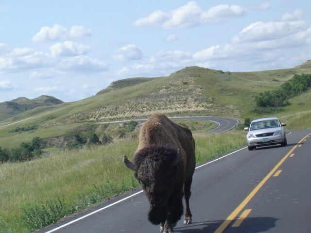 Buffalo_In_Road_3
